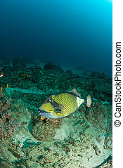 Triggerfish - The view of a triggerfish swimming along a...