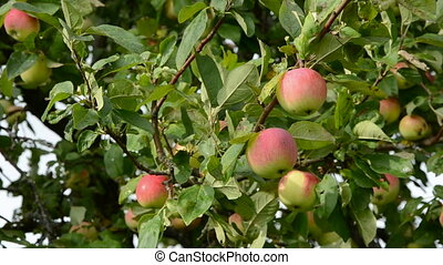 apples on tree branch and wind