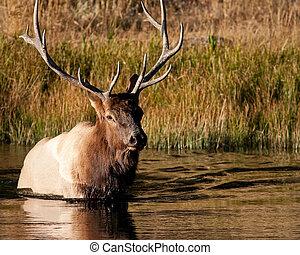 bull Elk - bull elk crossing a river during fall in...
