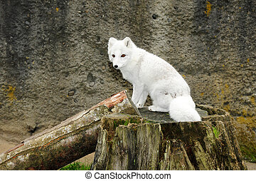 White arctic fox - Little white arctic fox