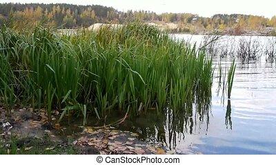 autumn rush in pond