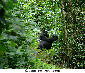 Gorilla in the african jungle - a Mountain Gorilla in the...