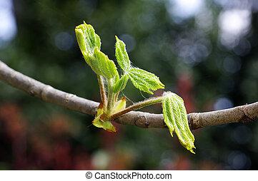 Aesculus Hippocastanum Ippocastano - Aesculus hippocastanum...