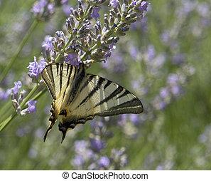 "Scarce Swallowtail - butterfly named ""Scarce Swallowtail"" in..."