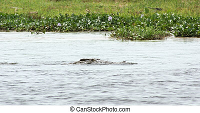 crocodile in the river Nile - a Nile crocodile swimming in...