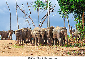 flock of elephants in the wilderness near Pinnawela