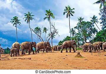 flock of elephants in the wilderness near Pinnawela