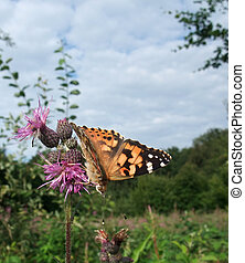 Painted Lady butterfly on thistle flower - a butterfly named...