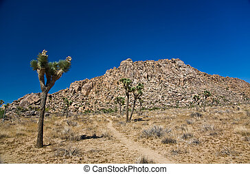 Nature in Joshua tree National Park - beautiful Cholla...