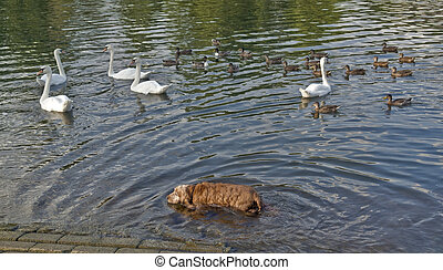 dog and ducks in a river - a dog, some swans and ducks...