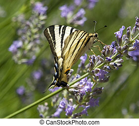 Scarce Swallowtail - butterfly named Scarce Swallowtail in...