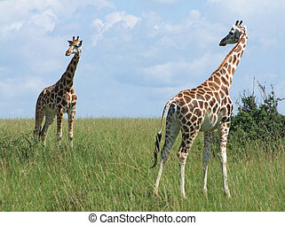 sunny scenery with Giraffes in Uganda - wide grassland...