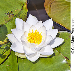 Japanese white lotus water lily in lake