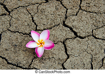 Pattern of cracked and dried soil With a Plumeria pink...