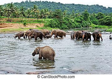 flock of elephants in the river - elephants take a bath in...