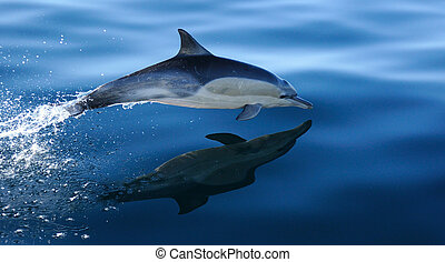 Common Dolphin Breach 1 - Common dolphin at high sppeed next...
