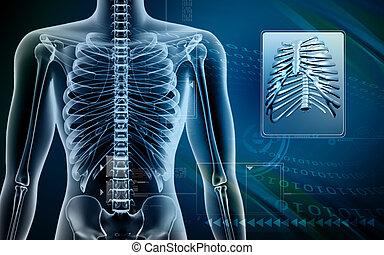 Human body and Rib cage - Digital illustration of human body...