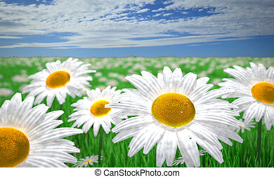 field of marguerites with green grass