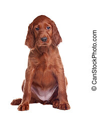 puppy setter - The puppy of a setter is removed on white...