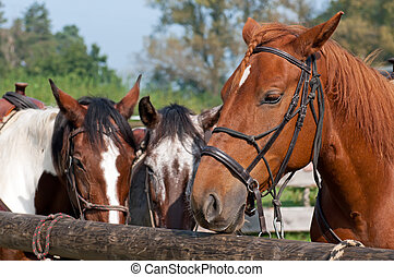 Beautiful Horses - Beautiful horses, picture taken during...