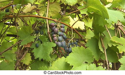 grapes 4 - grapes on the vine