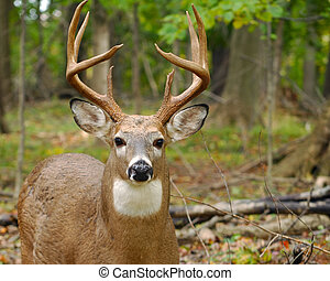 Young Whitetail Deer Buck - Closeup of a whitetail buck in...