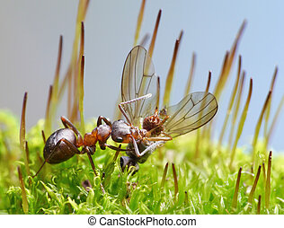 provider ant carry dead fly - provider ant formica rufa...