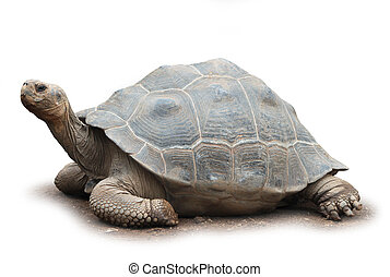 Big turtle isolated - Big old giant turtle isolated on white...
