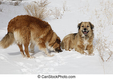 Snow Dogs - Two beautiful shaggy retriever type therapy dogs...