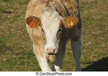 Hereford Calf - Young brown and white Hereford calf in a...