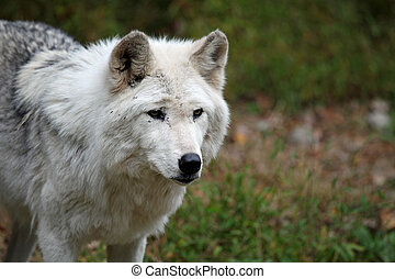 Wolf approaching - Healthy wolf in the wild
