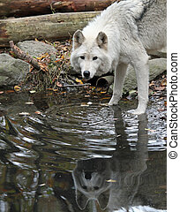 Wolf and his reflection - Healthy wolf in the wild, enjoying...