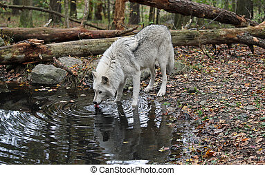 Wolf in the wild - Wild wolves in the woods