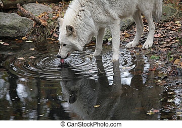 Wild wolf - Healthy wolf in the woods