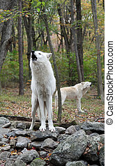 Wolf howling - Healthy wolf in the wild howling