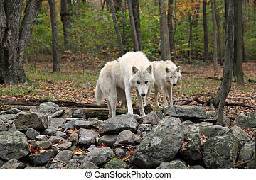Wolf in the wild - Pair of wolves hunting