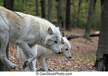 Pair of wolves hunting