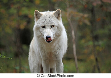 Wild wolf in the woods - Wolf hunting for food