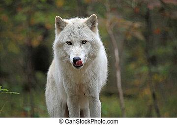 selvatico, lupo, legnhe