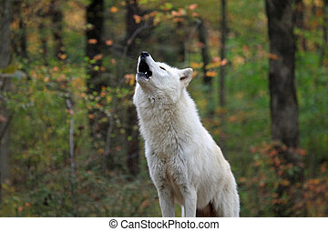 Howling wolf - Healthy wolf in the wild howling