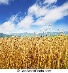 dourado, trigo, campo, azul, céu