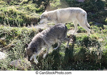 Alpha Wolves - A pair of alpha grey wolves the male is the...