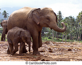 elephant family in open area - elephant family stays...
