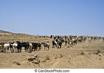 flock of goats near Arrecife on a sunny day