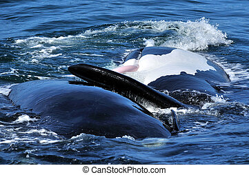 S R W P P - Pic of a Southern Right whale showing its penis...