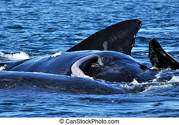 S R W Mating - Pic of a Southern Right whale showing its...