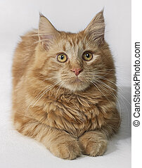 Maine Coon kitten portrait - portrait of a Maine Coon kitten...