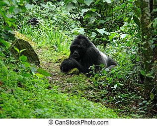 Gorillas in the rain forest - Mountain Gorillas in the cloud...