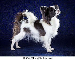 Papillon dog breed on dark blue background