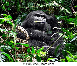 Gorilla in green vegetation - a Mountain Gorilla in the...